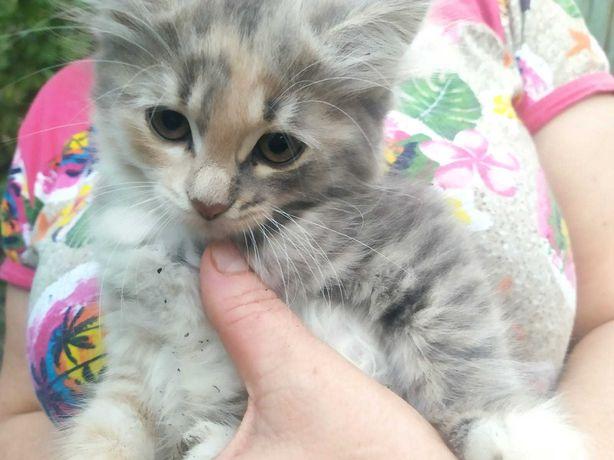 Отдам Котенка в хорошие руки ,девочка, мама Себирская кошка .
