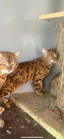 Очень срочно бенгальскую беременную кошку.