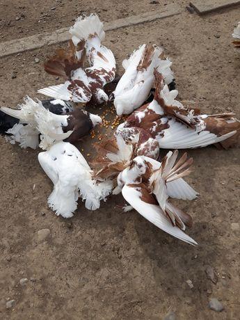 Vand porumbei rotati (voltați) sau schimb cu cereale!