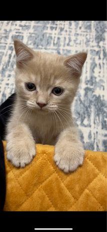 Продам породистую котенка 4-5 месяцев