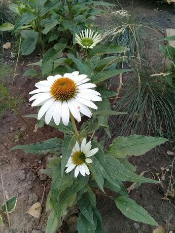 Продам многолетние цветы-ээиноцея белая.высота от15-30см.