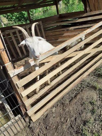 Vand 2 capre saanen cu ezi langa