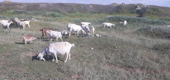 Продам породистых коз