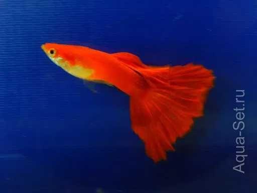 Аквариумная рыбка Гуппи