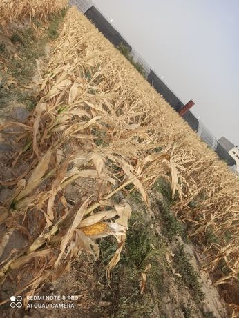 Кукуруза для корма