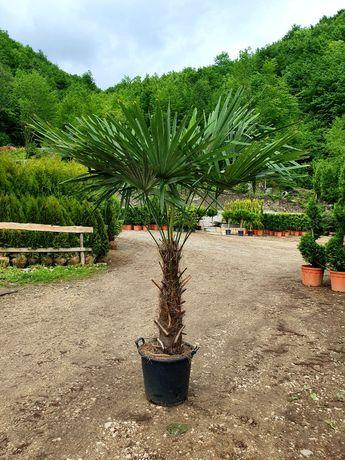 Vand palmieri, Cycas, Trachycarpus fortunei, phoenix, livrez în țară.