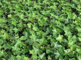 Iedera planta taratoare sau agatatoare