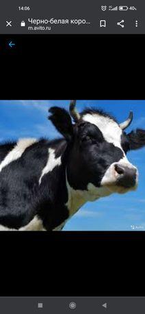 Срочно продам Корову черно-белая