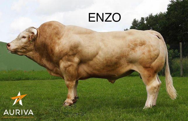 Taurasi ,vitei  din taurul ENZO ,linie Inra  95 .Doar pt cunoscatori .