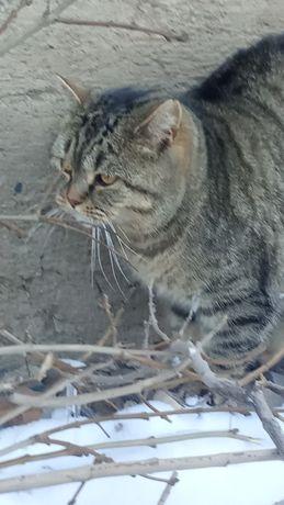 Найден кот породистый