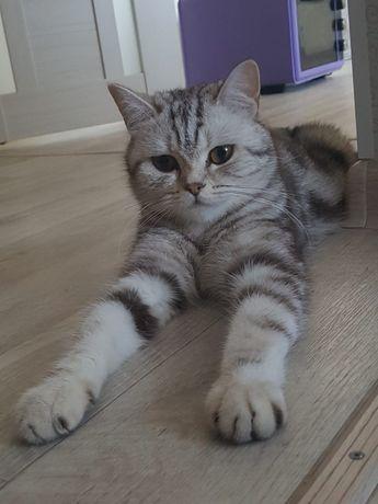 Шотландская кошка ищет жениха