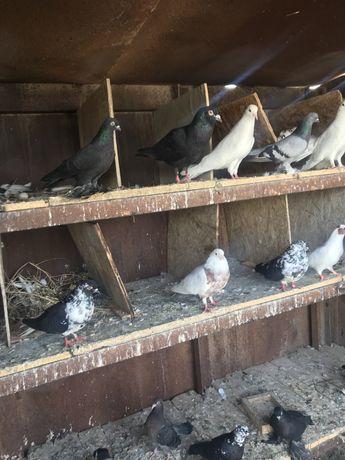 голуби продам!