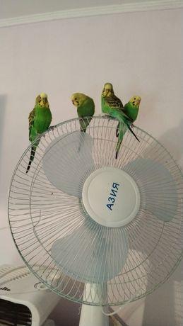 Попугайчики птенцы