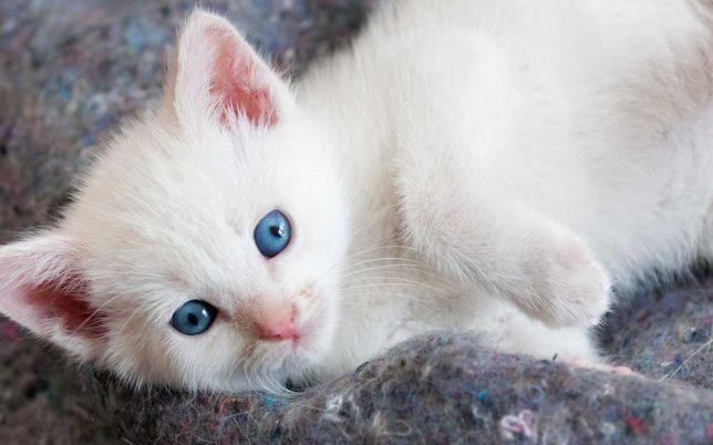Продам белых ангорских котят котиков.1 месяц.голубоглазых.