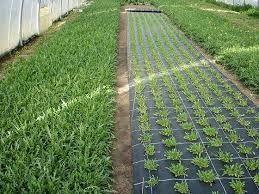 Agrotextil mulcire/antiburuieni/import Grecia