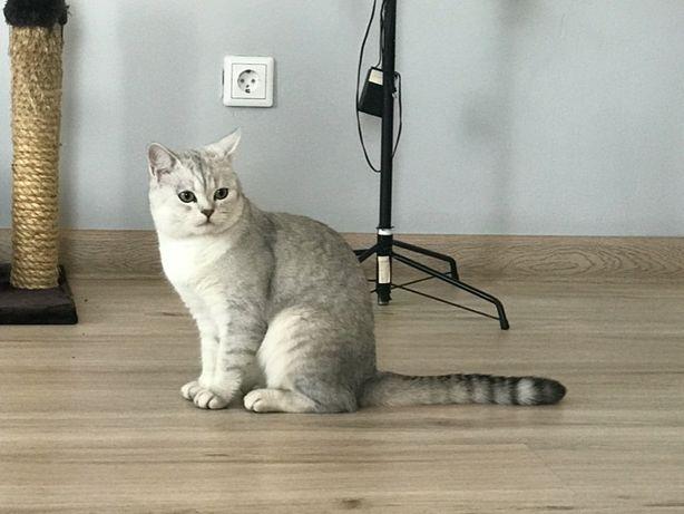 Шиншилловый супер-кот для вязки