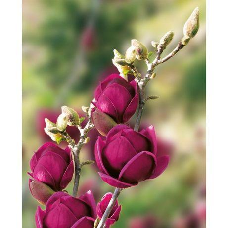 Magnolia Genie crescuta la ghiveci 50-70 cm