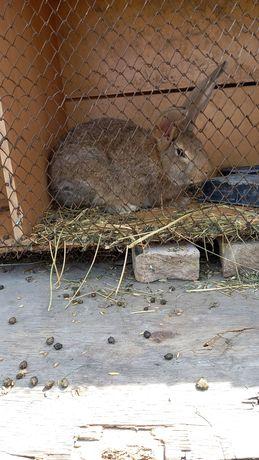 Кролик самец жёлтого цвета