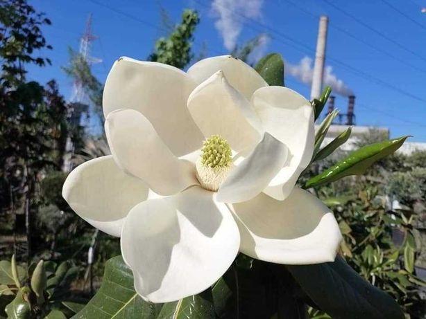 Magnolia Grandiflora mereu verde cu flori albe , in ghiveci