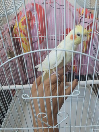 Попугай Корелла (самка)