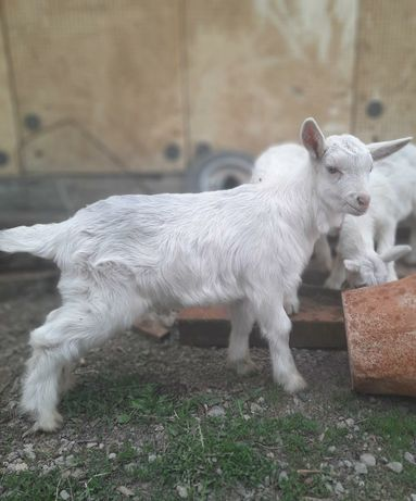 Продам козлят породы зайнин 20 дневных