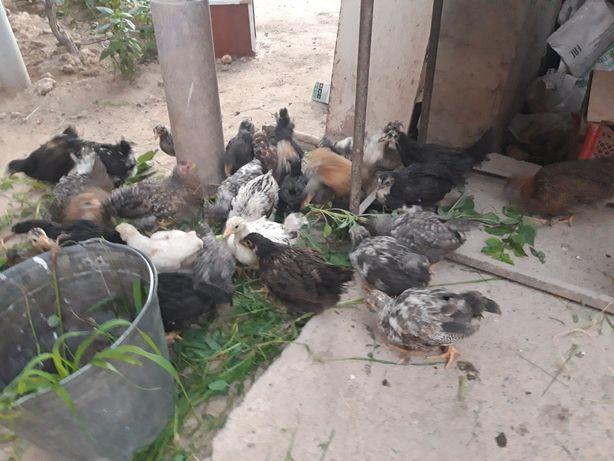 Домашние цыплята цветные 1.5 2 месяца цыплята домашние 50шт есть в нал