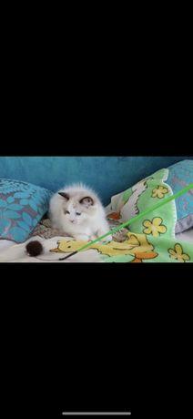 Кошка Рэкдолл , продам