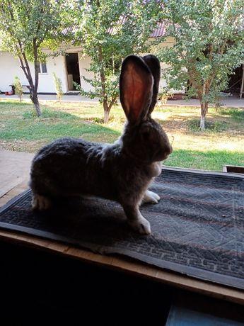 Кролик фландр 8 мес