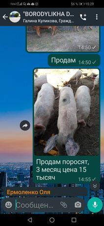 Поросята 3 мес цена 15 тысяч