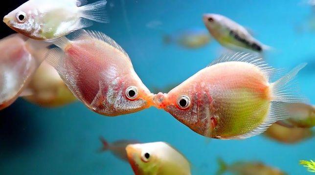 """Гурами целующийся баллон в зоомагазинах """"Живой Уголок"""""""