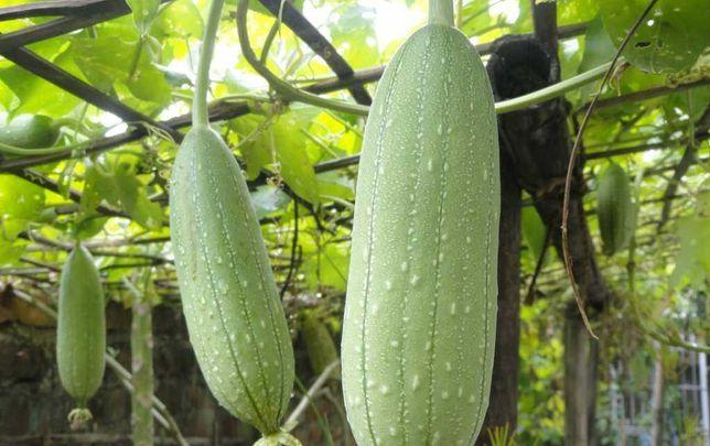 Luffa(burete de baie,sau de vase,vegetal)