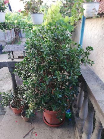 Arbore de jad (crassula ovata)
