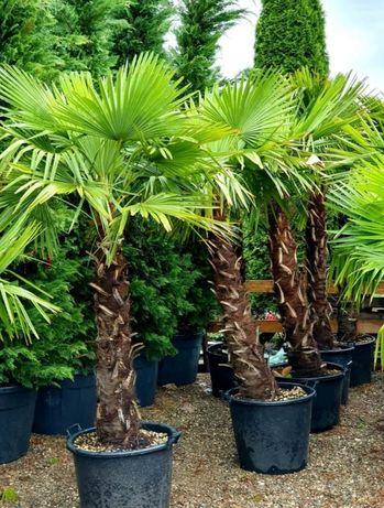 Palmier Chamaerops, Humilis, Phonix rezistă la - 20 grade C .