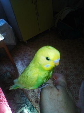 Продам ручьного папугая валнистика