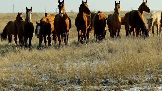 Продам лошадей. 60 голов.