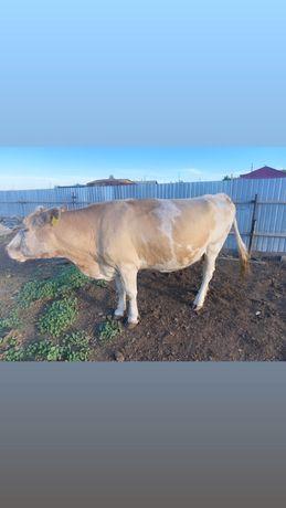 Продам  молодых дойных Коров
