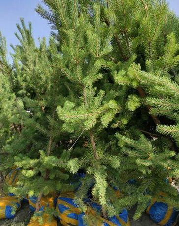 Сосна, елка, ёлка, оптом, крымка, крымские, саженцы, шырша, живая елка