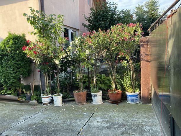 Plante leandru la ghiveci