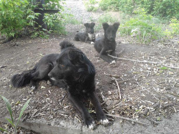 Пропала собака сука чёрная с белым пятном на груди!