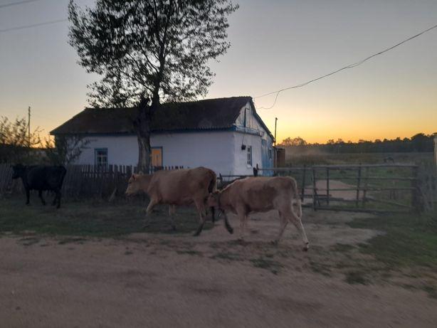 Продам корову , с подсосным теленком