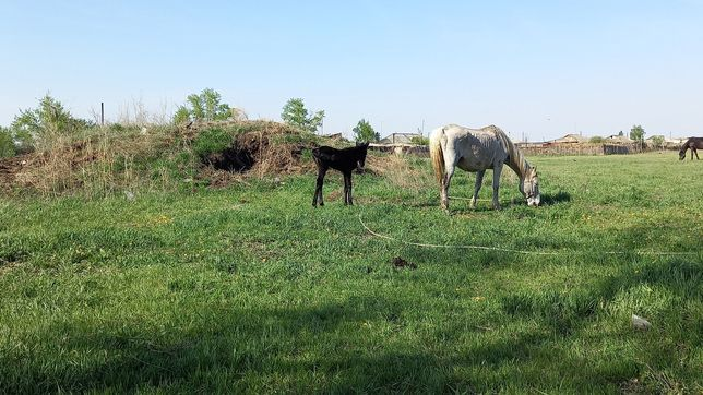 Продам лошадь с жеребенком и два тая мальчики, цена на сегодня