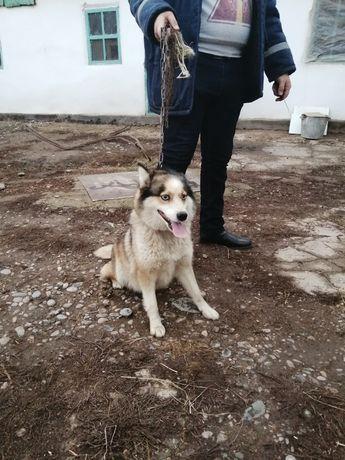 Хаски сибирский 1.5 лет
