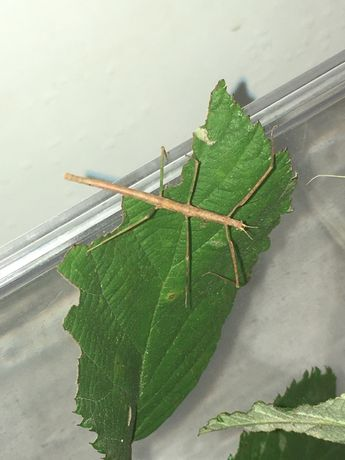 Stick insect/ Insecta Bat (Extradentata)