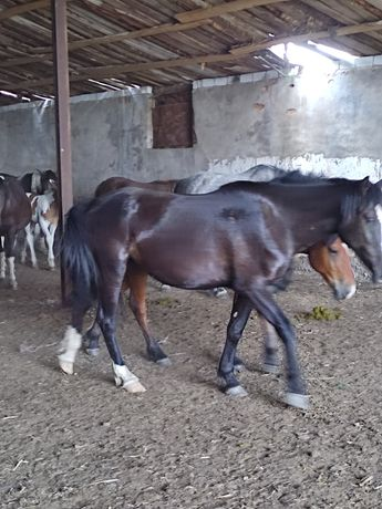 Продам лошадей 2 кобылы 3лет, и нынешний жеребенок кобылешка