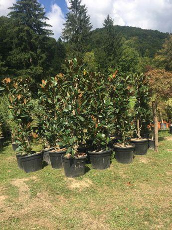 Magnolie Grandiflora / catalpa/ palmieri / pon pon