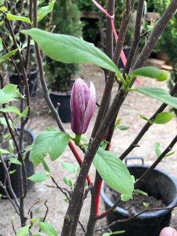 Vând Magnolia