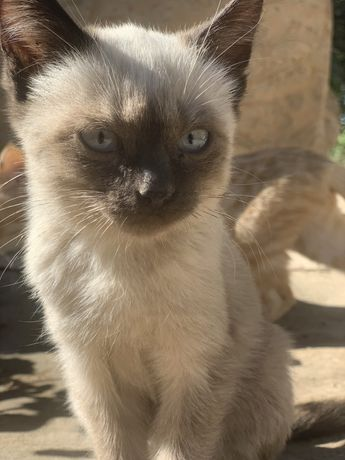 Отдам Сиамскую кошка
