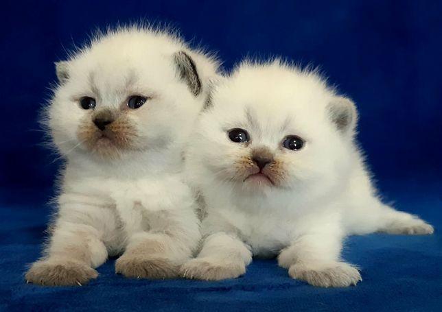 Vand pisici British shorthair!