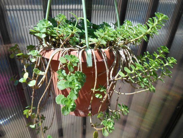 Floare planta suculenta ( sau sedum , avem si pui )