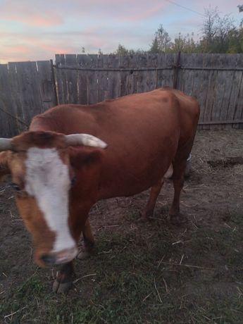 Продам корову с теленком цена договорная
